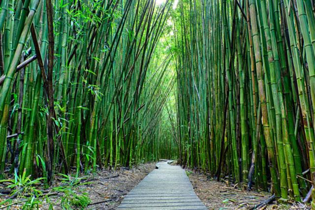 Bosque-de-bambu